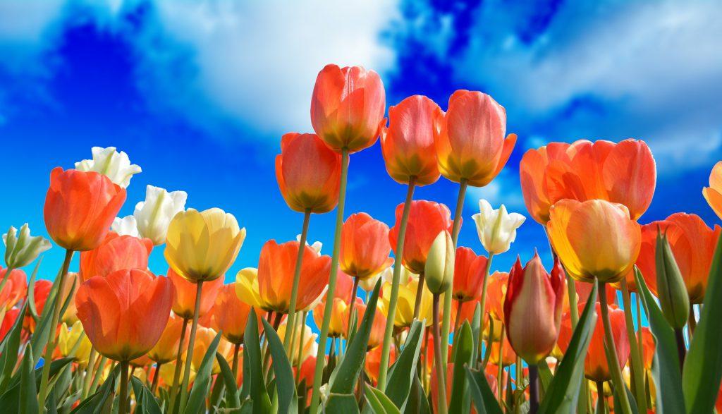 Tulpen Nederland